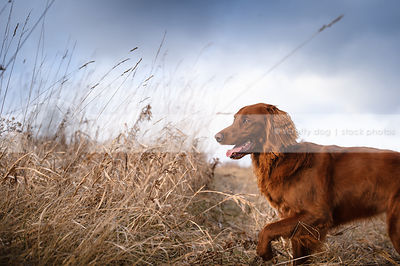 pretty red mixed breed dog walking in dried grasses