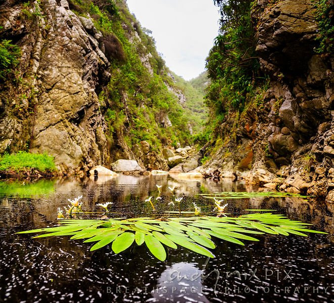 Waterblommetjies in forested Cape fynbos river gorge