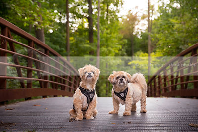 two little lhasa apso dogs wearing harness on bridge with forest