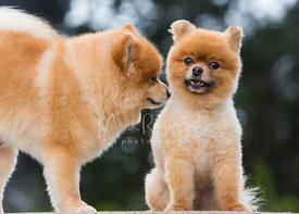 Two pomeranians smiling