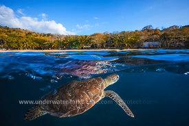 Green Turtle - Sea Turtle