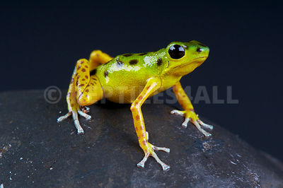 "Strawberry dart frog / Oophaga pumilio ""Colon bocas del Drago"" photos"