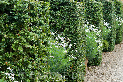 Box buttresses alternate with pots of white flowered argyranthemums in the White Garden. Bourton House, Bourton-on-the-Hill, Moreton-in-Marsh, Glos, UK