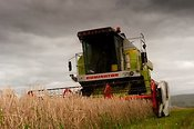Combining undersown barley with a Claas Dominator Combine