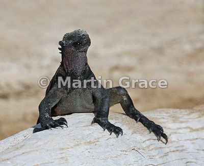 Marine Iguana (Amblyrhynchus cristatus venustissimus) sunbathing on a driftwood tree trunk and displaying the impressive claws that enable it to cling on to submerged rocks while it feeds, Punta Suarez, Espanola, Galapagos