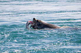A steller sea lion eating fish in the water near the Inian Islands, Alaska.