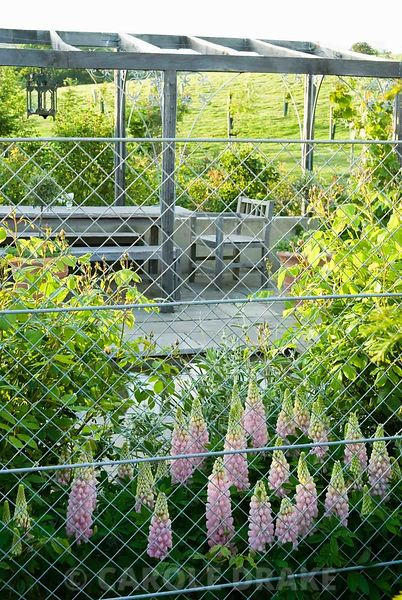 Pink Lupinus 'Blossom' seen through the galvanised steel fencing that surrounds the pond garden. Old Rectory, Kingston, Isle of Wight, Hants, UK