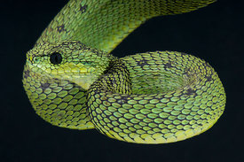 Atheris nitschei, Great Lakes bush viper, Uganda