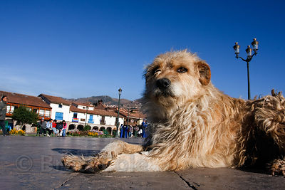 A homeless dog in the Plaza de Armas, Cusco, Peru
