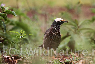 White-crowned starling/Hvitkronestær - Ethiopia