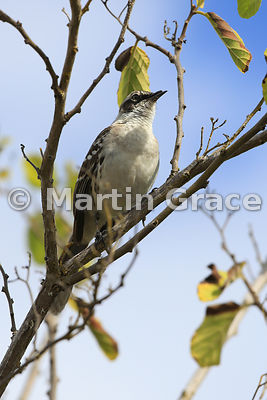 Galapagos Mockingbird (Nesomimus parvulus) with deformed or damaged upper beak, Santa Cruz, Galapagos Islands