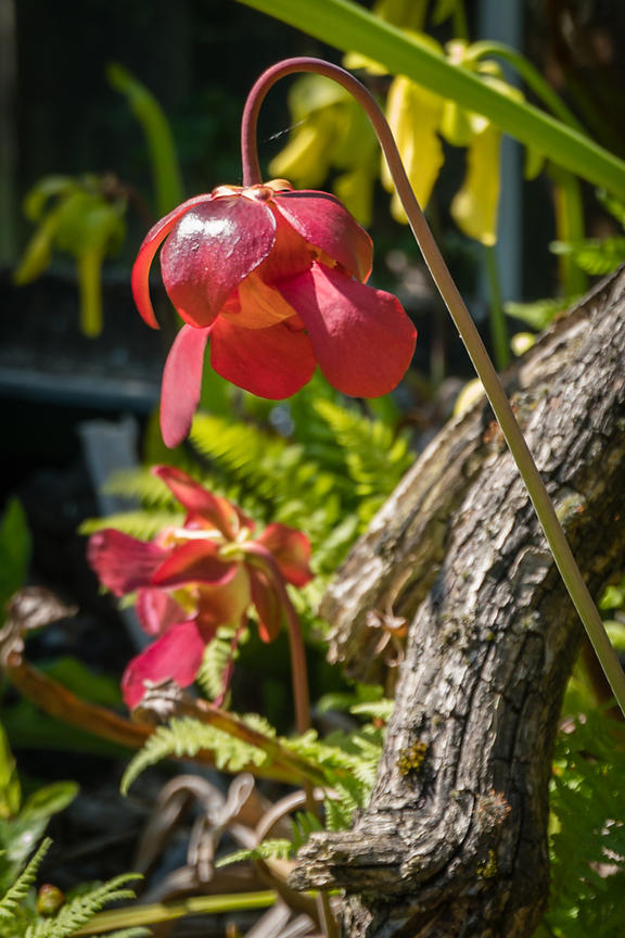 Flower of the Purple pitcher plant (L. Sarracenia purpurea, NL. Paarse bekerplant), photographed in the Hortus Botanicus botanical garden. Amsterdam, the Netherlands