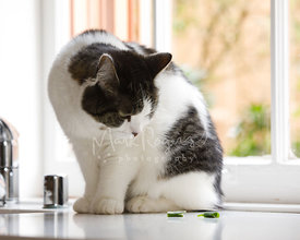 Grey and White Cat Sitting on Counter Looking at Green Vegatable