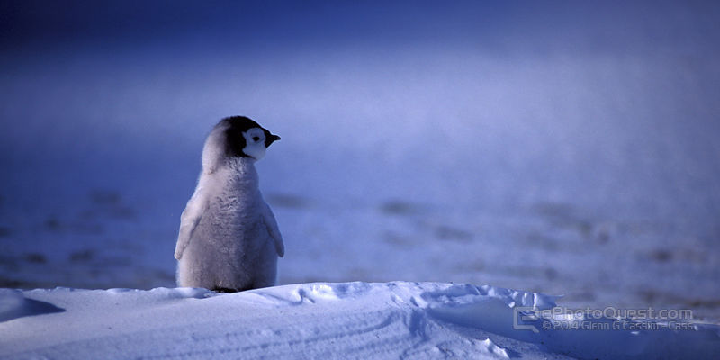 Emperor Penguin Chick Alone