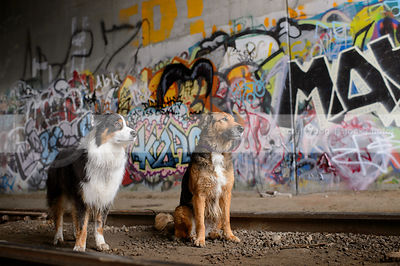 two longhaired dogs at train tracks with colorful urban graffiti
