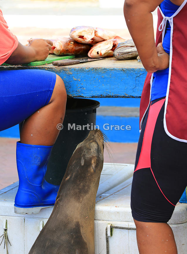 Galapagos Sea Lion (Zalophus californianus wollebacki) waiting patiently to be fed scraps as fish are gutted and filleted at Puerto Ayora fish market, Santa Cruz, Galapagos