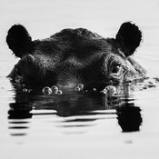 2501-Hippo_under_water_Botswana_2009_Laurent_Baheux