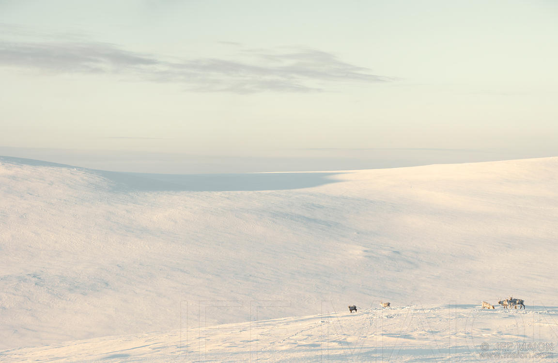 Reindeers in open landscape