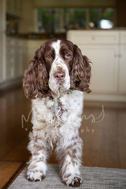 Springer Spaniel Standing in Kitchen