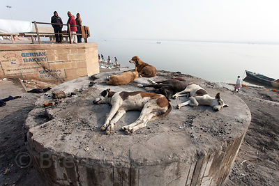 Stray dogs stay warm by laying on warm ashes at Harish Chandra burning ghat, Varanasi, India. About 200 people a day are cremated at the site on open pyres along the Ganges River.