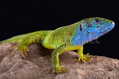 European green lizard (Lacerta viridis) photos