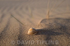 Shell and blowing sand on  beach, Holkham National Nature Reserve, North Norfolk
