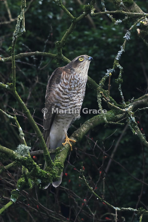 Juvenile male Eurasian Sparrowhawk (Accipiter nisus) looking for prey while perching on a branch in a Lake District garden, Cumbria, England