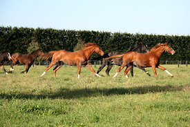 yearling_colts