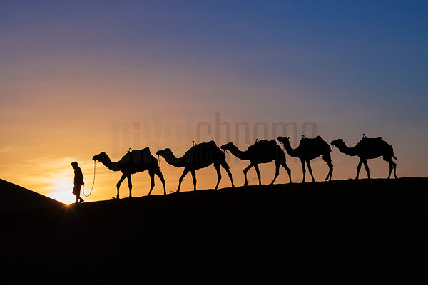 A Tuareg Leads a String of Camels through the Sahara Desert at Sunset