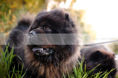 headshot of shaggy black chow dog in grasses and sunshine