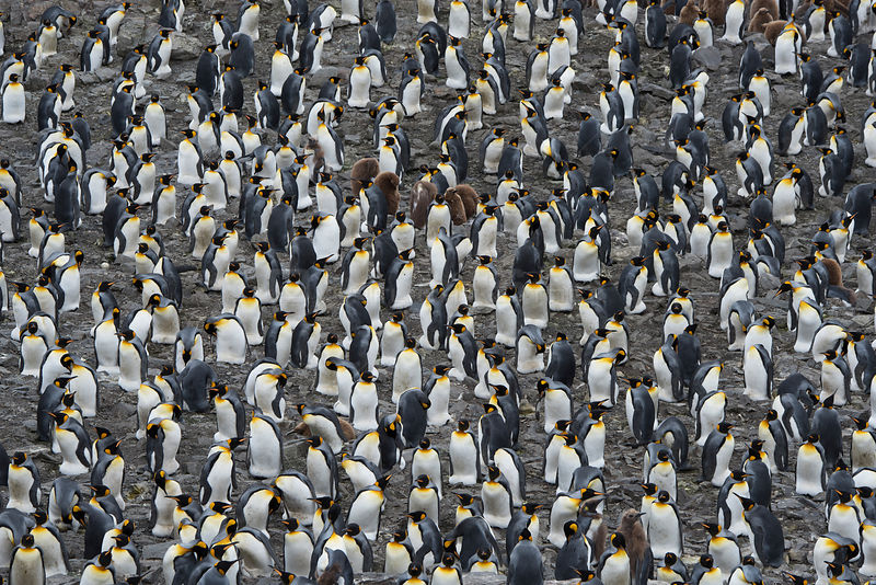 King penguin (Aptenodytes patagonicus) colony. Salisbury Plain, South Georgia. January.