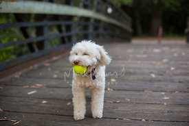 Small white poodle mix on a bridge playing with ball