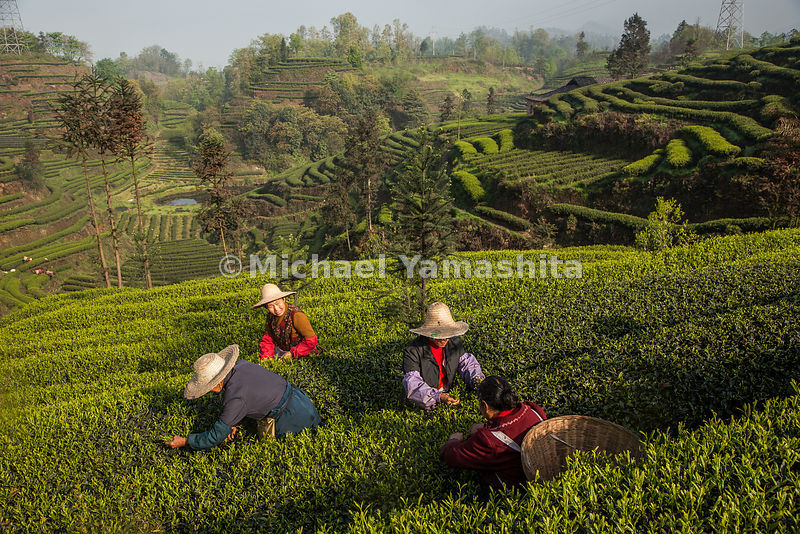 Pickers dot the waves of cultivated tea at one of the three largest plantations in Yaan, Sichuan Province where the northern route of the tea horse road starts.