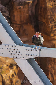 California Condor Perched on Navajo Bridge
