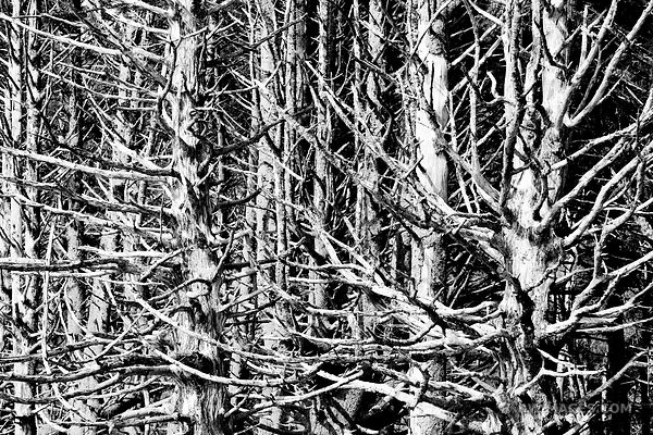 TREE SKELETONS RIALTO BEACH OLYMPIC NATIONAL PARK BLACK AND WHITE