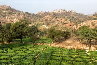 Chapati wheat fields with old Rajgarh fort on a distant hilltop, Rajgarh village, Rajasthan, India