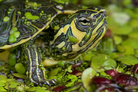 Yellow-bellied slider , Trachemys scripta scripta