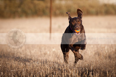brown gundog running  fetching ball in field with sunshine