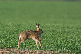 Brown Hare, Lepus europaeus  stetching Norfolk spring