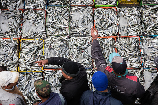 Fresh Caught Sardines being Auctioned at the Casablanca Fishing Port