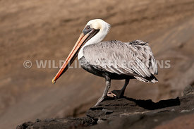 brown_pelican_rock_stand_2