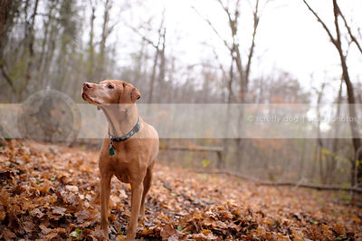 handsome senior red gundog posing in autumn leaves