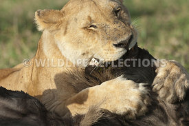 lioness_suffocating_wildebeest_1