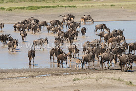 wildebeest_lake_crossing_sequence_02242015-42