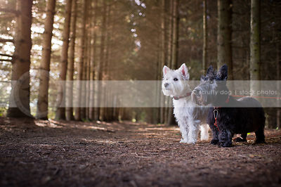 small white dog black dog standing together in pine forest