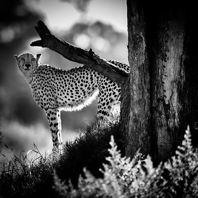Cheetah behind a tree, Botswana 2009 © Laurent Baheux
