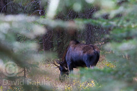 Young male moose (Alces alces) grazing by a creek