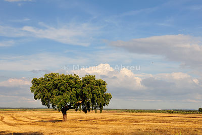 Cork tree in Avis, Alentejo. Portugal