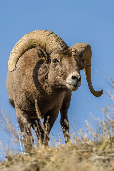 Big_Horn_Sheep_1K9Z1985