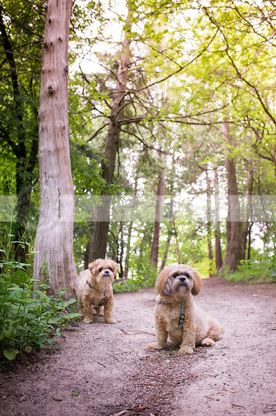 two lhasa apso dogs on forest trail in summer